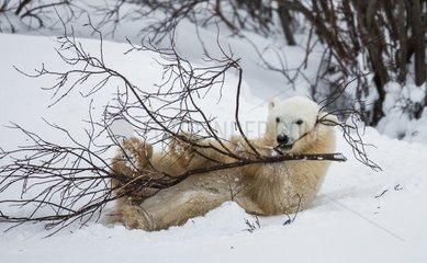 Little Bear plays with a branch in the tundra. Canada.