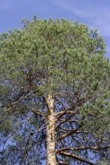 Scots pine in July Finland