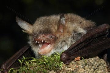 Portrait of Natterer's Bat (Myotis nattereri)  France