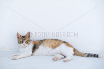 European-style cat resting against a white wall looking for freshness  Fira  Santorini  Cyclades  Greece