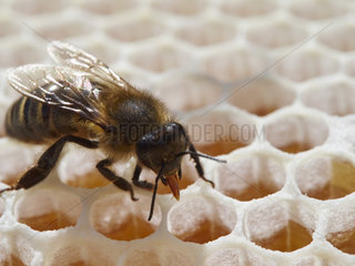 European Black Bee on honey (Apis mellifera mellifera) on honey cell