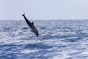 Spinner dolphin (Stenella longirostris) jumping  Kalpitiya  Northwest Coast of Sri Lanka