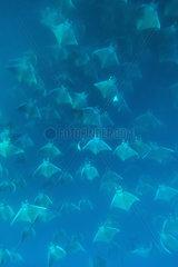 Smoothtail mobulas in dense groups - Gulf of California
