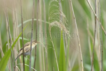 Eurasian Reed warbler on reed - Luxembourg