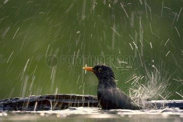Male blackbird bath - Hungary