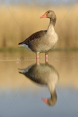 Greylag Goose in a pond at dawn - Hungary