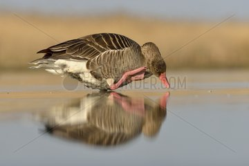 Greylag Goose grooming in a pond at dawn - Hungary