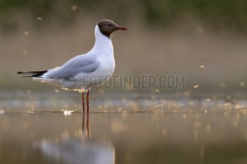Black-headed Gull in a pond at dusk - Hungary