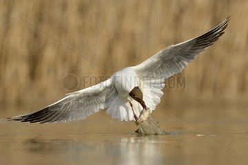 Black-headed Gull fishing in a pond - Hungary