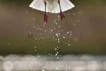 Black-headed Gull flying away a pond - Hungary