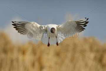 Black-headed gull in flight over a pond - Hungary