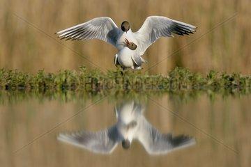 Seagulls mating on the bank - Hungary