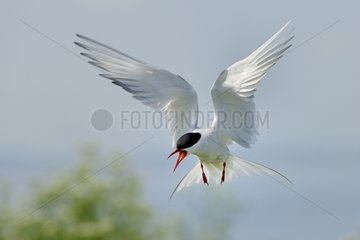 Arctic Tern in flight - England UK