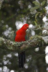 Australian king parrot on a branch Lamington NP Australia