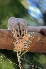 Squirrel Glider eating a floweer Australia