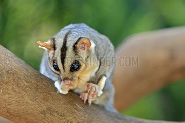 Squirrel Glider on a branch Australia
