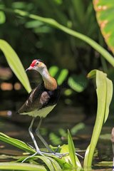 Comb-crested Jacana walking on floating vegetation Australia