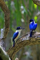 Forest Kingfisher on a branch Australia