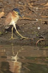 Rufous Night-hero near water in the Kakadu NP Australie