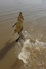 Crocodile standing on its tail Kakadu NP Australia