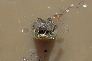 Salt-water Crocodile in a river in the Kakadu NP Australia