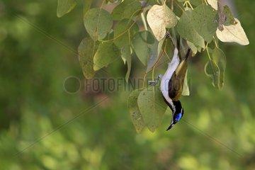 Blue-faced Honeyeater in the NP Kakabu Australia
