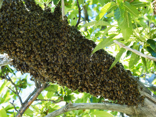Honey bee (Apis mellifera) - A swarm lands on a branch while waiting to find a habitat. The swarm is made up of the old queen  drones and half the worker bees from the original colony. A few dozen explorer bees set off on reconnaissance flights to search for their new habitat.