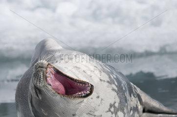 Weddell seal yawning - Antarctic Peninsula