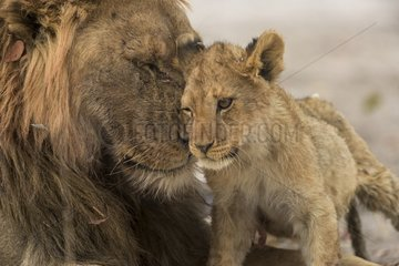 Lion (Panthera leo)  father and son cuddling  Etosha national Park  Namibia