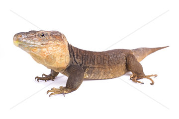Gran Canaria giant lizard (Gallotia stehlini) male on white background