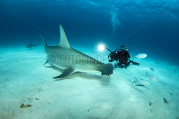 Scuba diver is filming a Great hammerhead shark (Sphyrna mokarran) swimming over a sandy seabed  South Bimini  Bahamas. The Bahamas National Shark Sanctuary  West Atlantic Ocean.