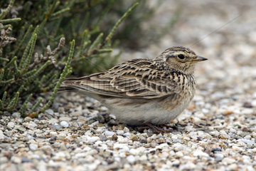 Greater Short-toed Lark (Calandrella brachydactyla) on the ground on stony slope in edge of basin in spring  Salins de Hyeres  Mediterranean Coast  France