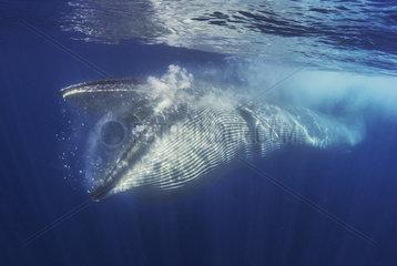 Bryde's whale (Balaenoptera brydei  edeni)  Whale eating  Tenerife  Canary Islands.