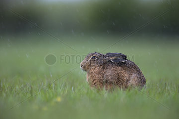 Brown Hare under the rain in a meadow at spring - GB