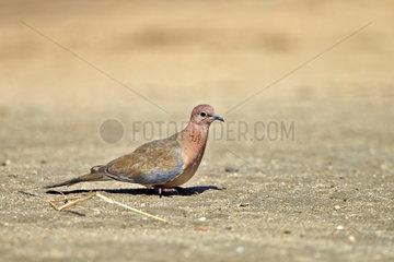 Laughing dove on ground - Sandur Mountain Range India