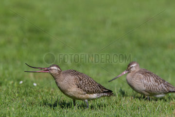Bar-tailed Godwit (Limosa lapponica) feeding on the ground in the Parc des Eaux-Vives in Geneva  Switzerland