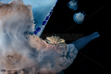 Jellyfish (Rhizostoma pulmo) with a crab (Liocarcinus vernalis)  Gulf of Naples  Tyrrhenian Sea  Italia