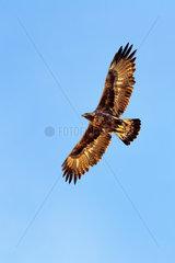 Golden Eagle (Aquila chrysaetos) in flight  Haute Maurienne  Vanoise  Alps  France