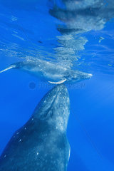 Humpback whale (megaptera novaeangliae) A baby humpback plays at its mothers head.Tonga.