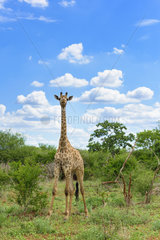 Giraffe (Giraffa camelopardalis) smiling under blue sky and cloudy  Kruger  South Africa