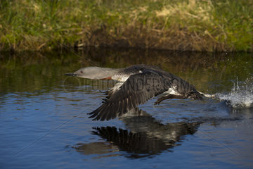 Red-throated diver (Gavia stellata) Diver taking off water  Shetland  Spring