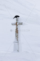 Raven (Corvus corax) in flight on a stone cross  Valais Alps  Switzerland