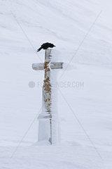 Raven (Corvus corax) in flight on a stone cross  Valais Alps  Switzerland
