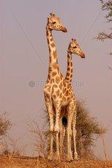 Girafes de l'Ouest Niger