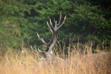 Red Deer (Cervus elaphus) male   Walloon Fens  Ardenne  Belgium
