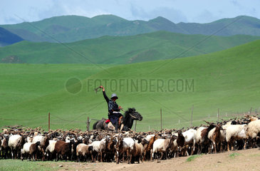Sheperd bringing his goats for milking - Tibet China