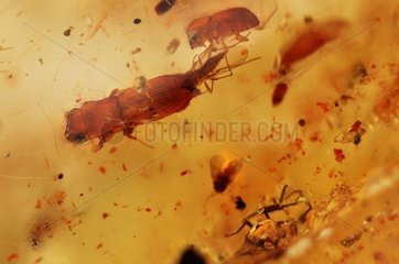Insects stuck in a piece of polished amber