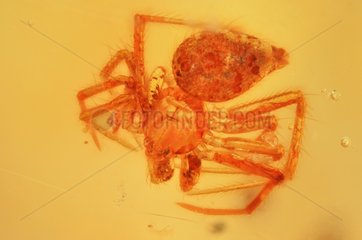 Spider stuck in a piece of polished amber