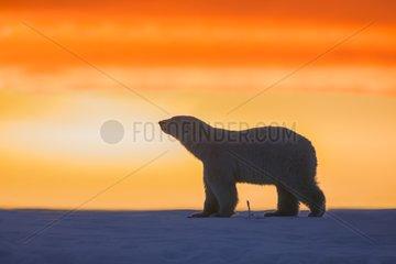 Polar bears at sunset - Barter Island Alaska