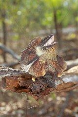 Frill-necked Lizard in the Kakadu NP Australia